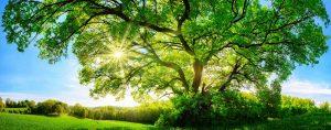 green tree with sun shining through